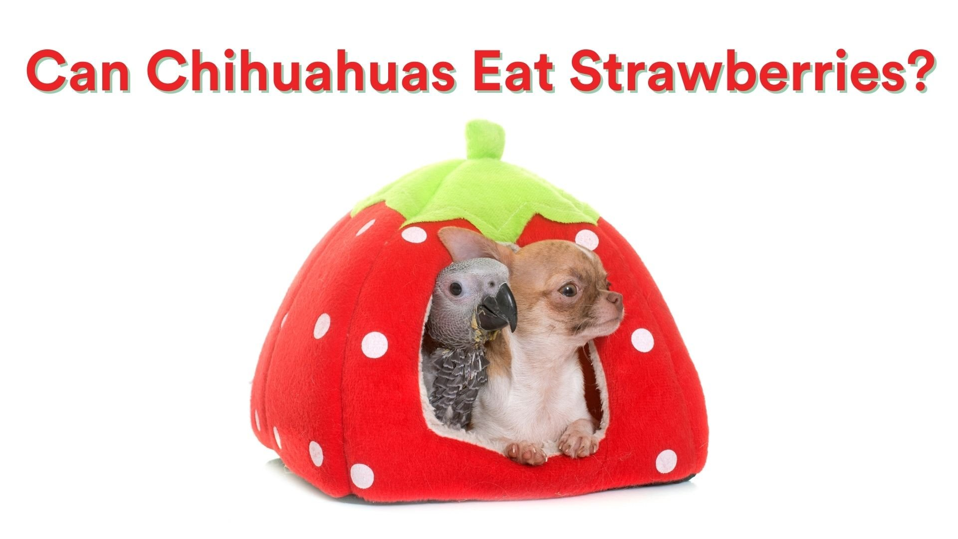 Can Chihuahuas Eat Strawberries?