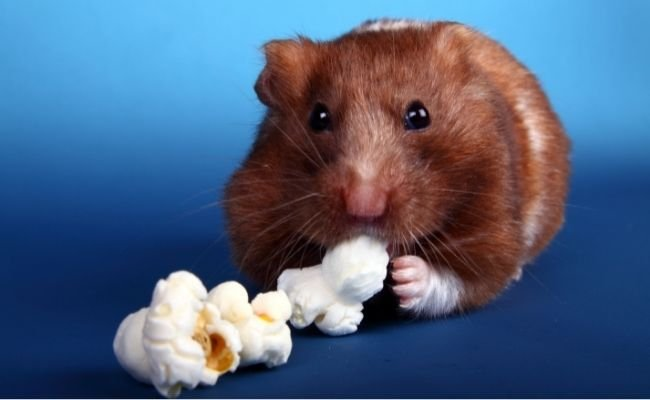 Can Hamsters Eat Popcorn?