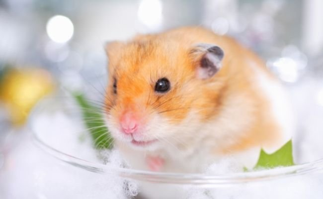 How Much Spinach Should A Syrian Hamster Eat?