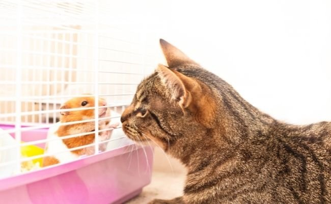 Can Hamsters Live Together With Cats