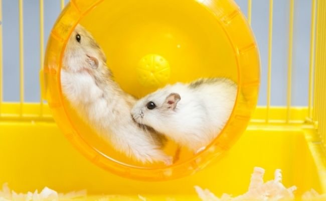 Can Hamsters Share A Wheel