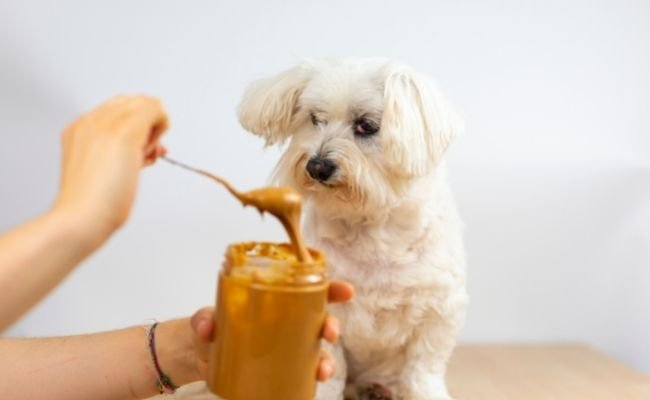A Few Things To Remember Before Giving Your Poodle Peanut Butter