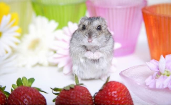 Do's and Don'ts when giving your hamster strawberries