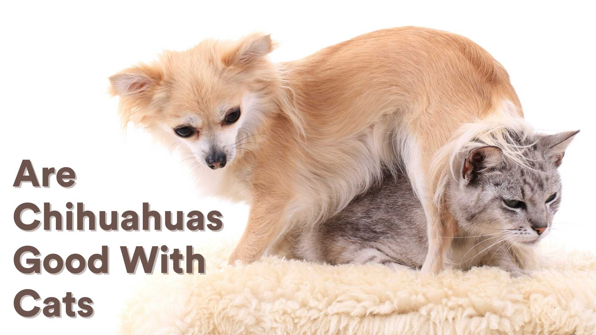 Are Chihuahuas Good With Cats