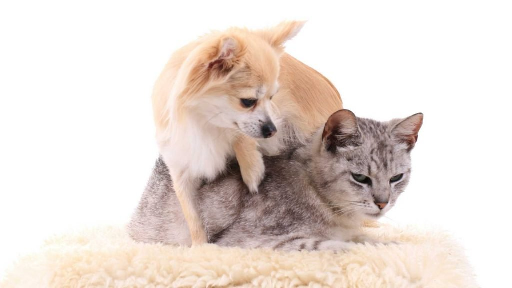chihuahua and cats