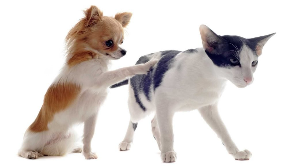 chihuahua playing with cat
