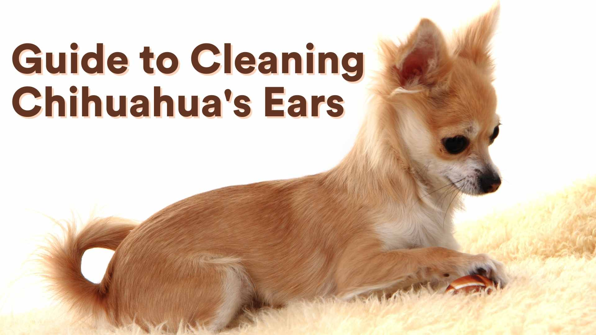 Guide to Cleaning Chihuahua's Ears