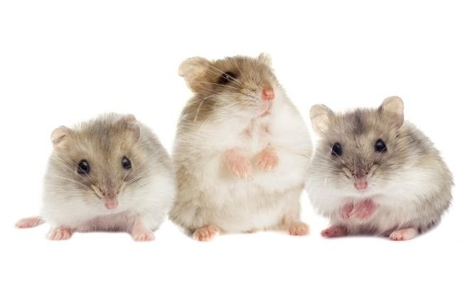 Hamster Cheek Pouches Contents