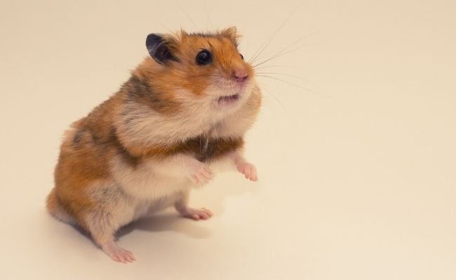Hamster Cheek Pouches Diseases