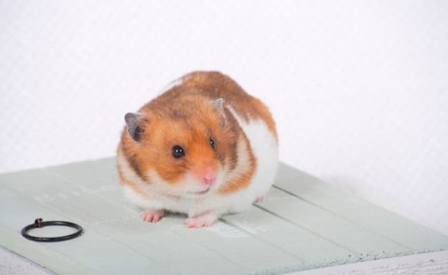 All About Hamster Dental Health
