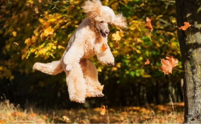 How High Can Poodles Jump?