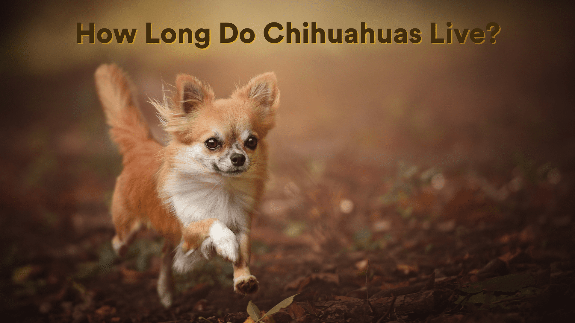 chihuahua life expectancy