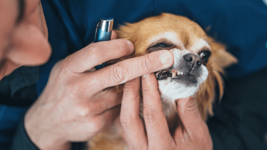 dental problems of chihuahua