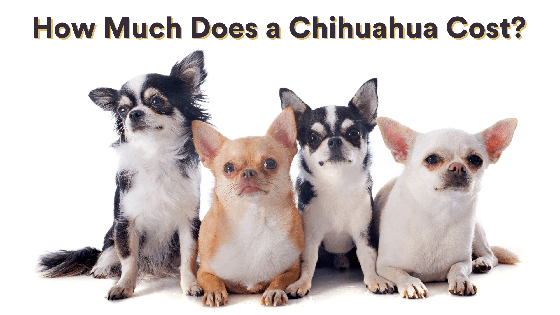 How Much Does a Chihuahua Cost?