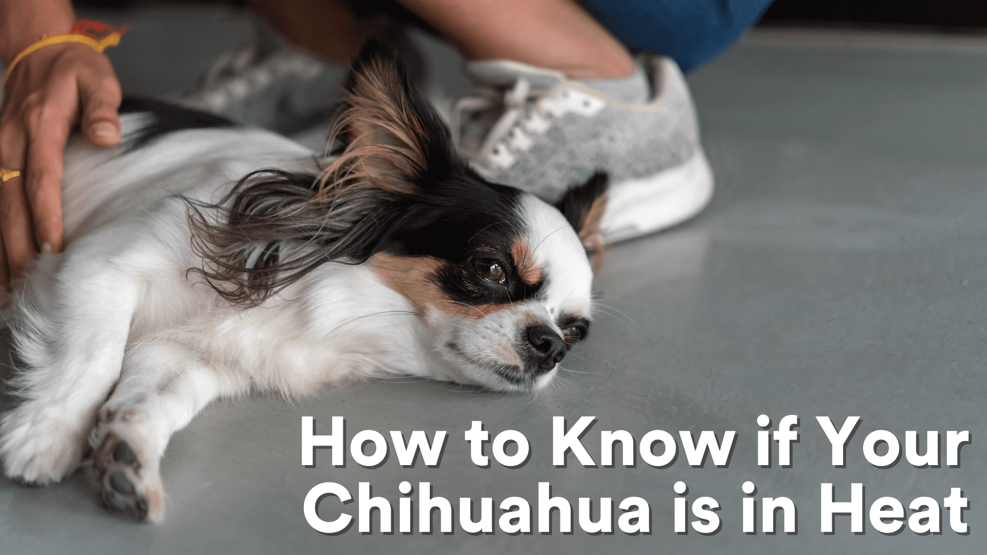 How to Know if Your Chihuahua is in Heat