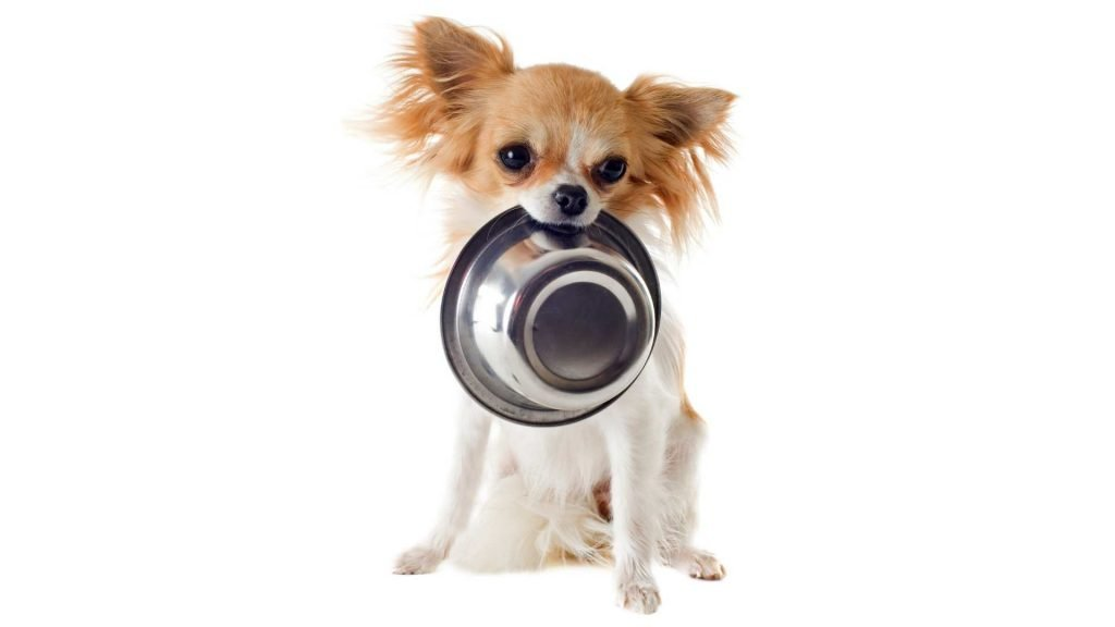 choosing the right food for your chihuahua
