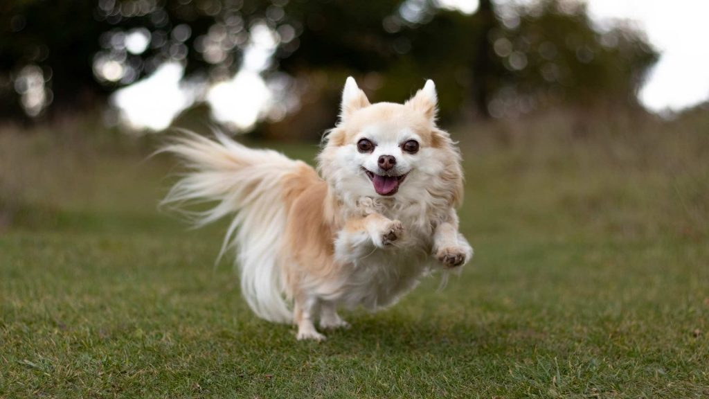chihuahua playing outdoors