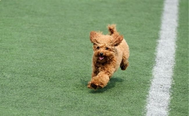 Poodle dog competitions: