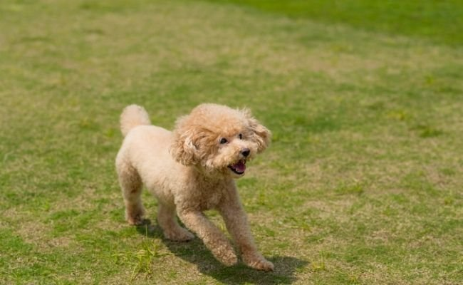 How To Tell If Your Poodle Is Purebred