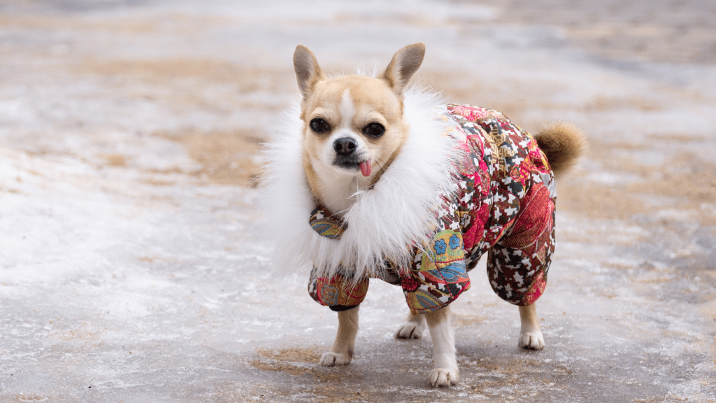 Keeping Your Chihuahua Warm