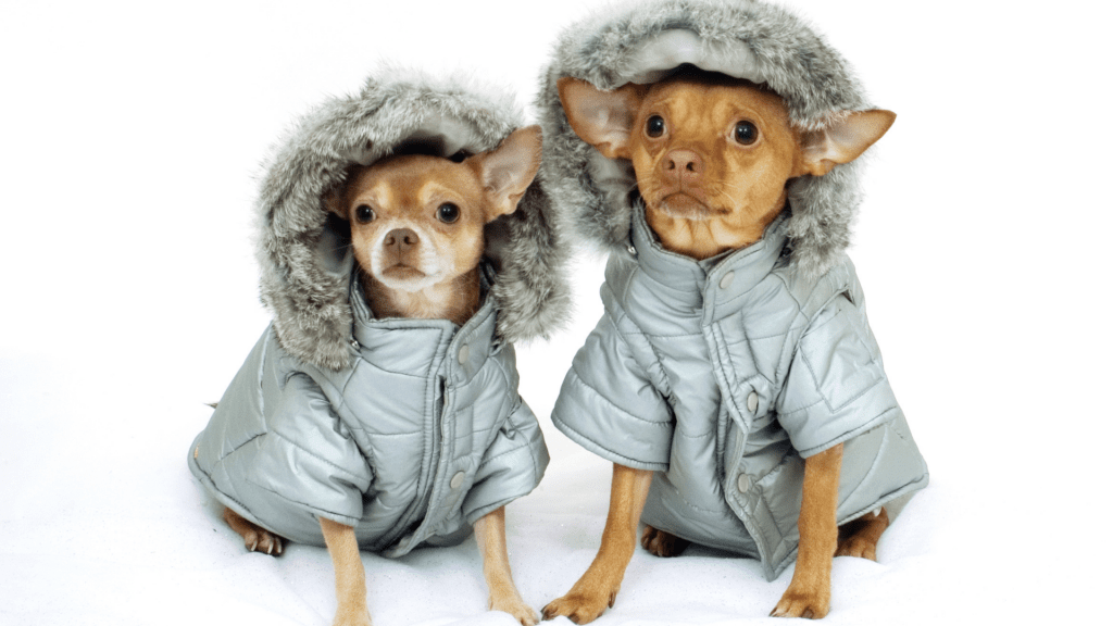 Signs Your Chihuahua is Cold