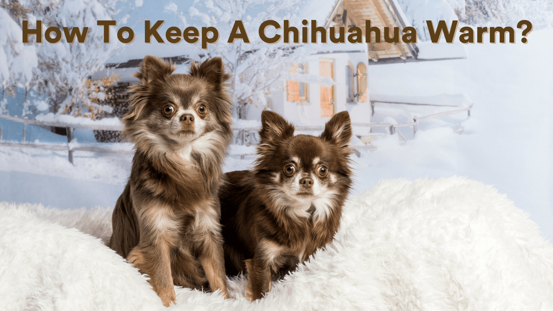 How to Keep a Chihuahua Warm During Winter?