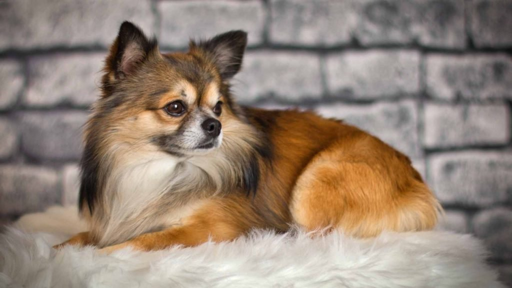 preparing your chihuahua for pregnancy