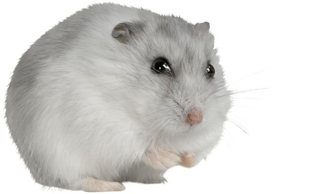 How To Keep Hamster Eyes Healthy