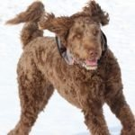 The 12 Most Popular Poodle Mixes
