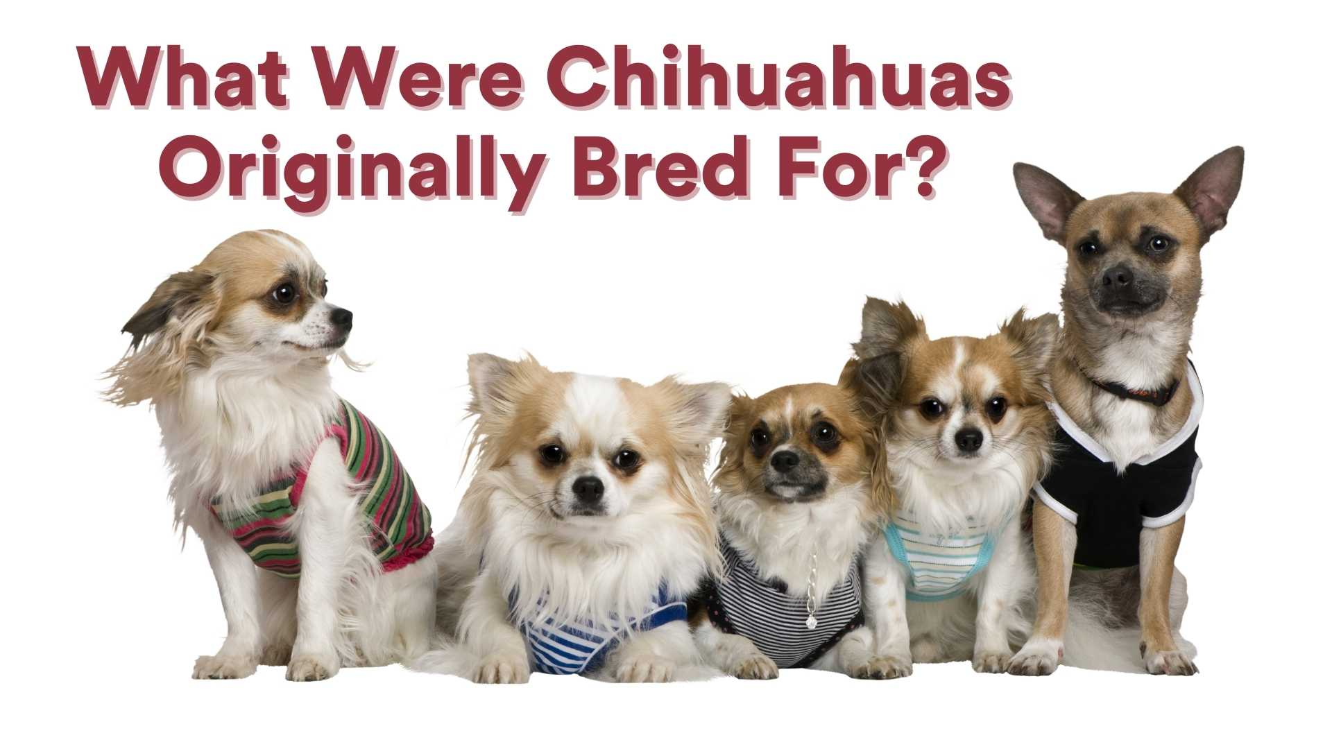What Were Chihuahuas Originally Bred For?