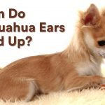 When Do Chihuahuas Ears Stand Up