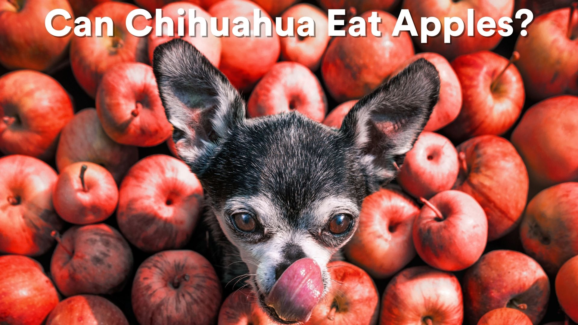 can chihuahuas eat apple?