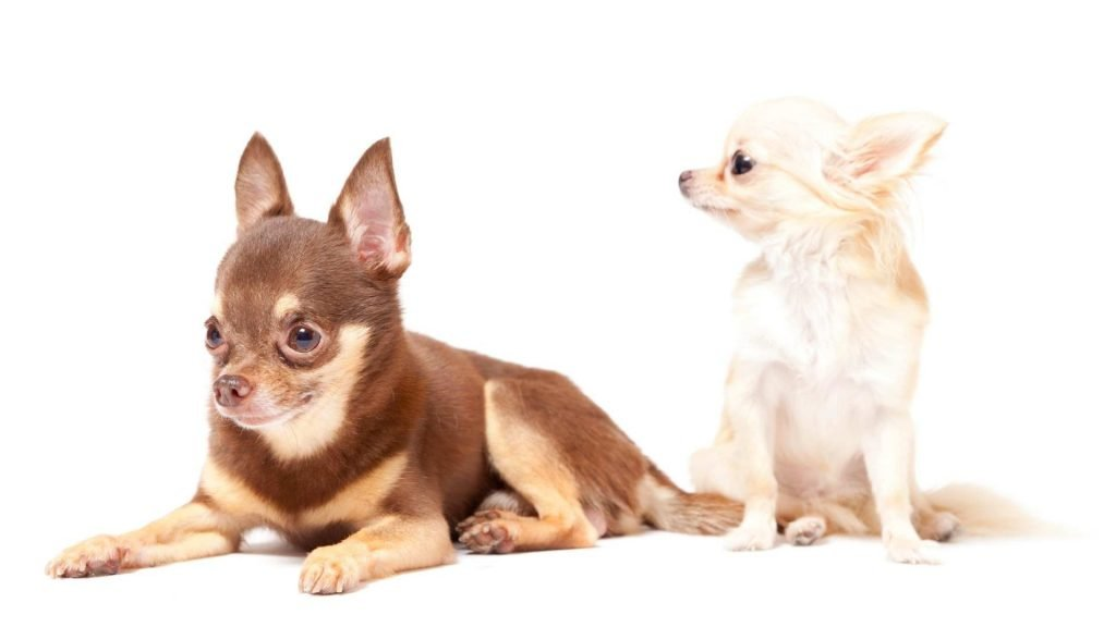 basic facts about chihuahua