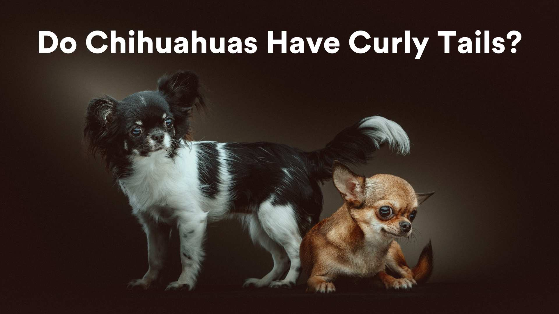do chihuahuas have curly tails