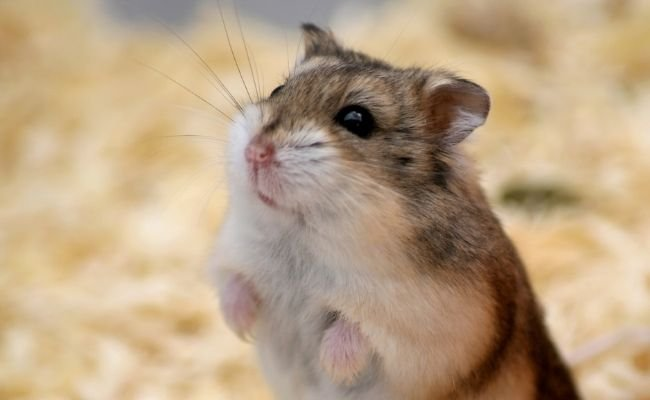 why hamsters smell everything