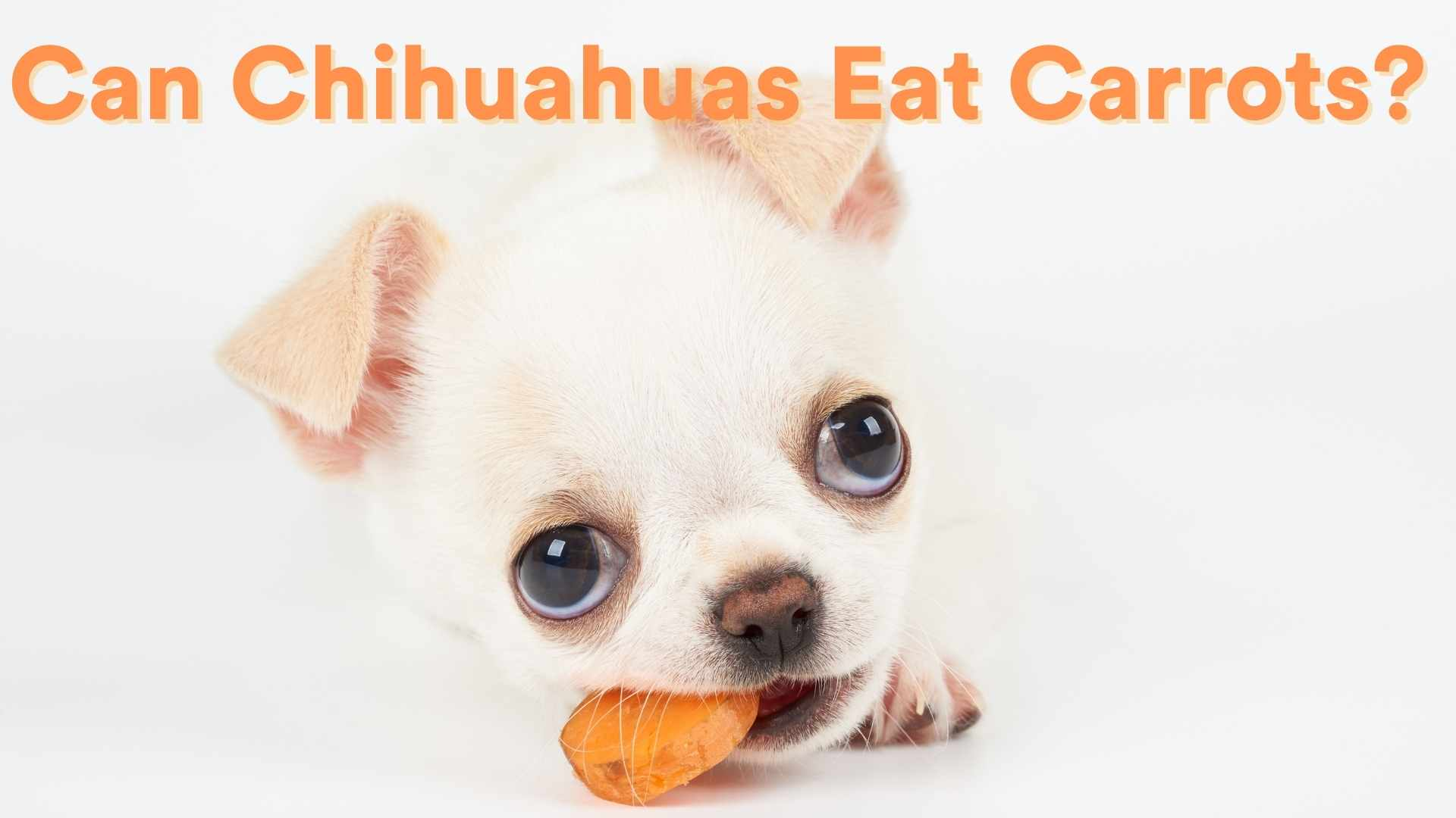 Can Chihuahuas Eat Carrots?