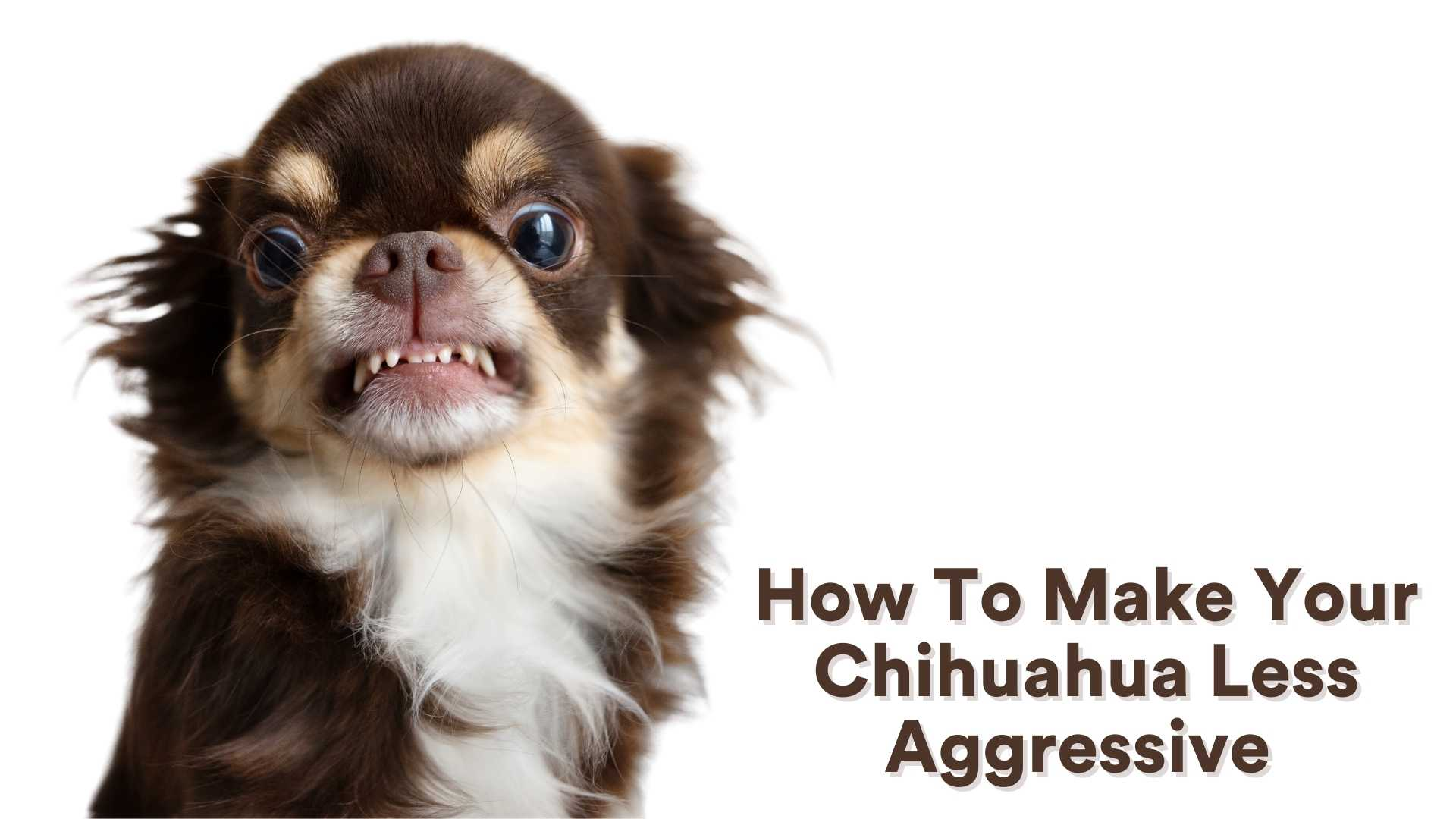 How to make your chihuahua less agressive