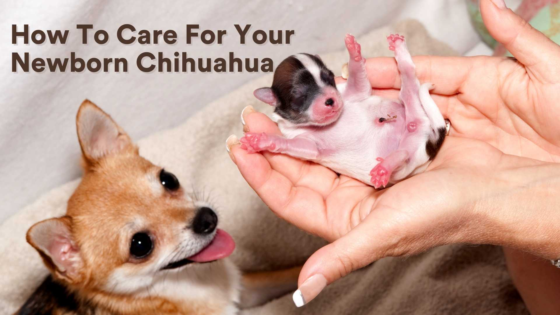 How To Care For Your Newborn Chihuahua