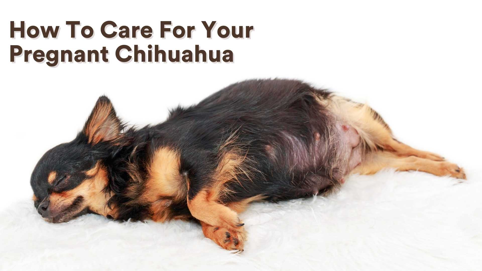 How To Care For Your Pregnant Chihuahua
