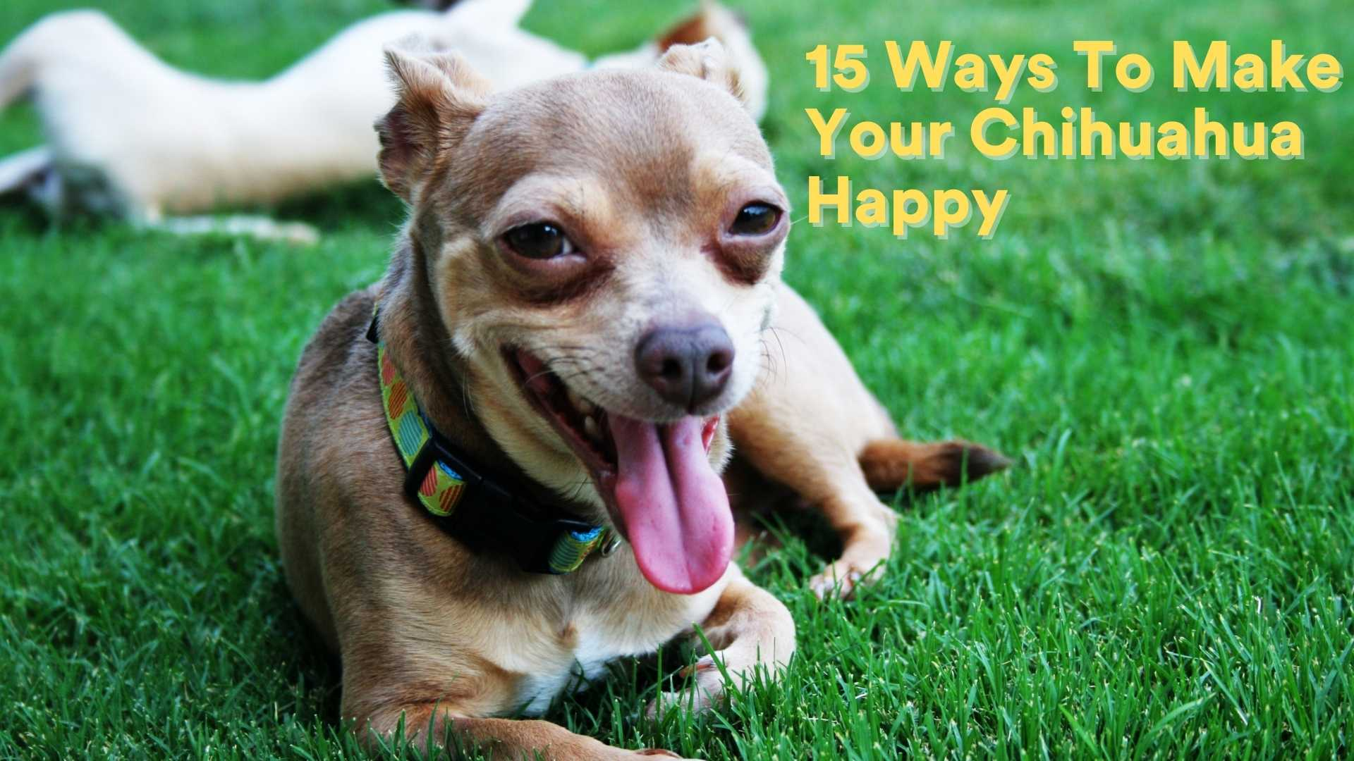 15 Ways To Make Your Chihuahua Happy