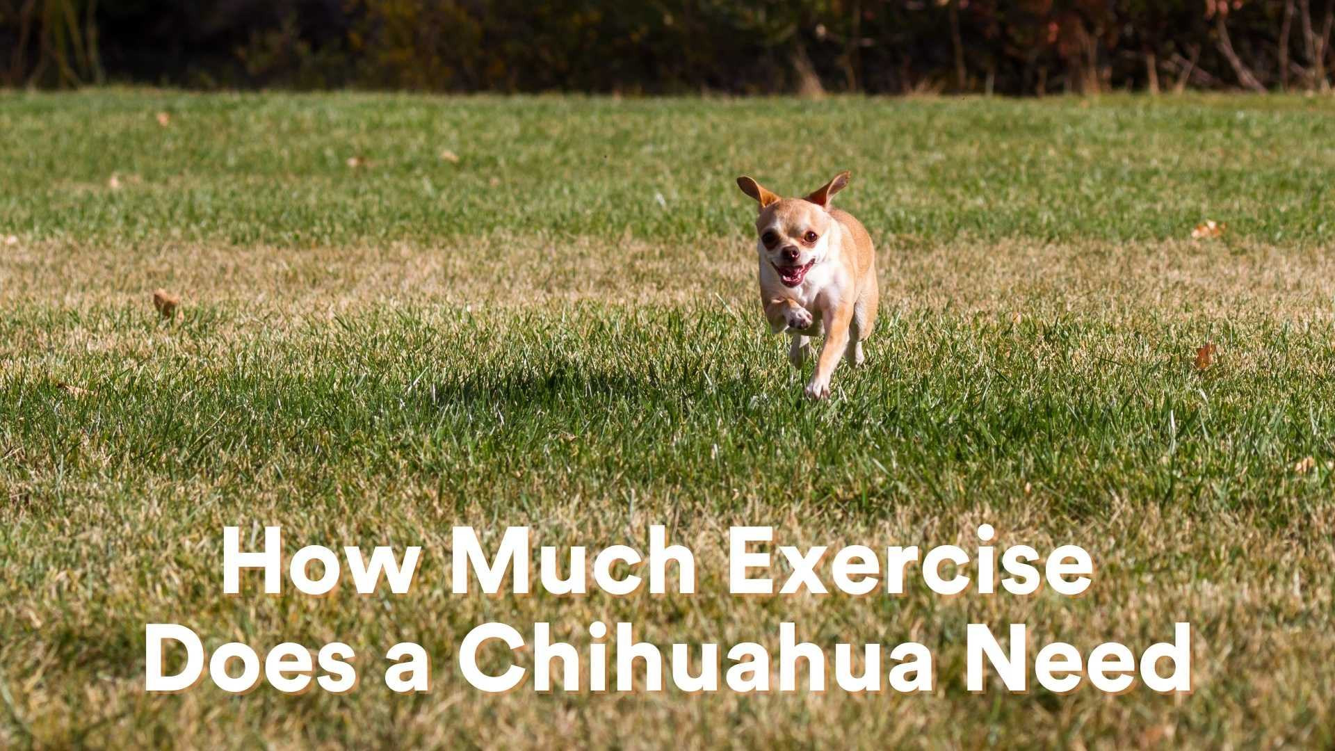 How Much Exercise Does a Chihuahua Need