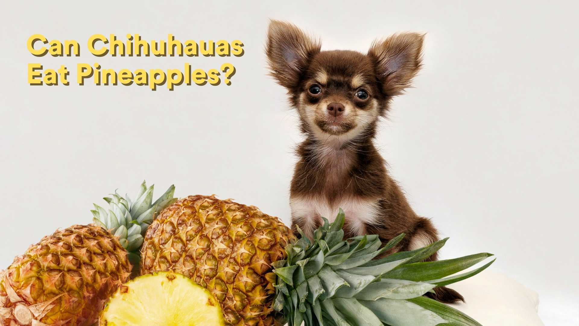 Can Chihuahuas Eat Pineapples?