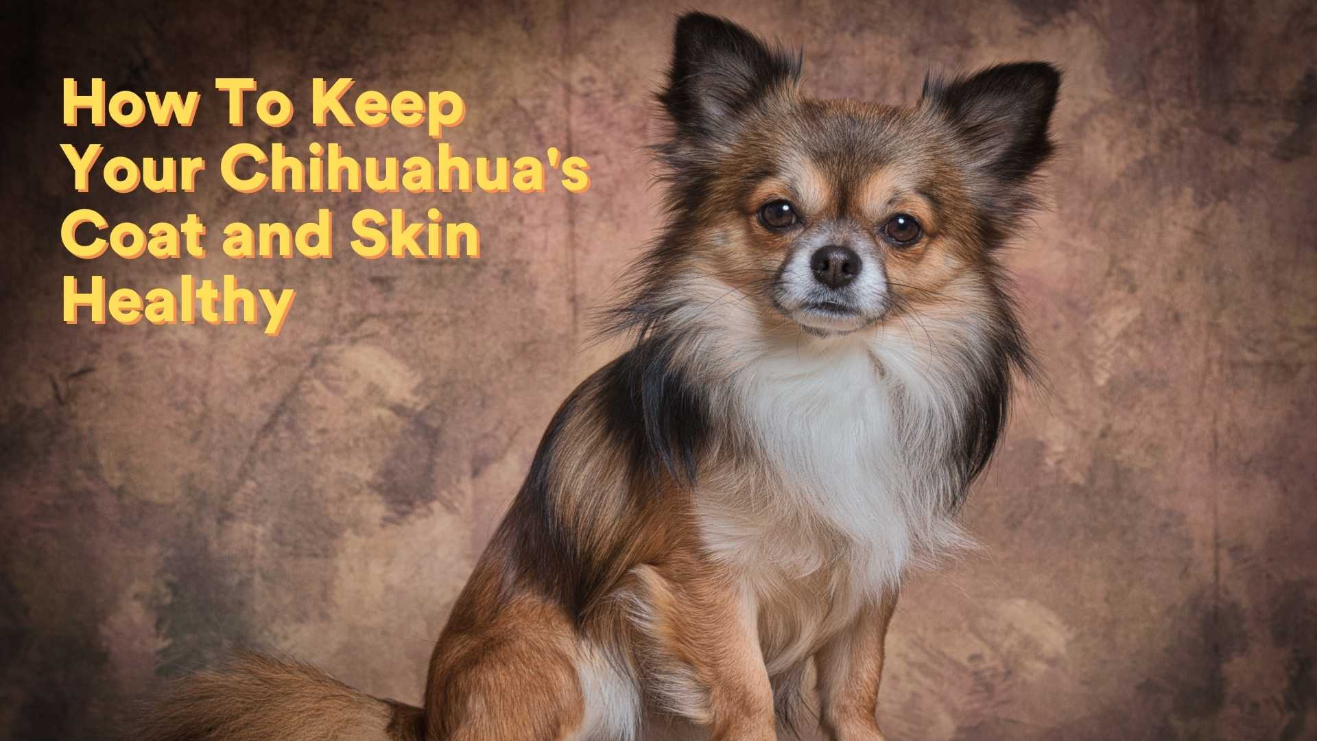 How To Keep Your Chihuahua's Coat and Skin Healthy