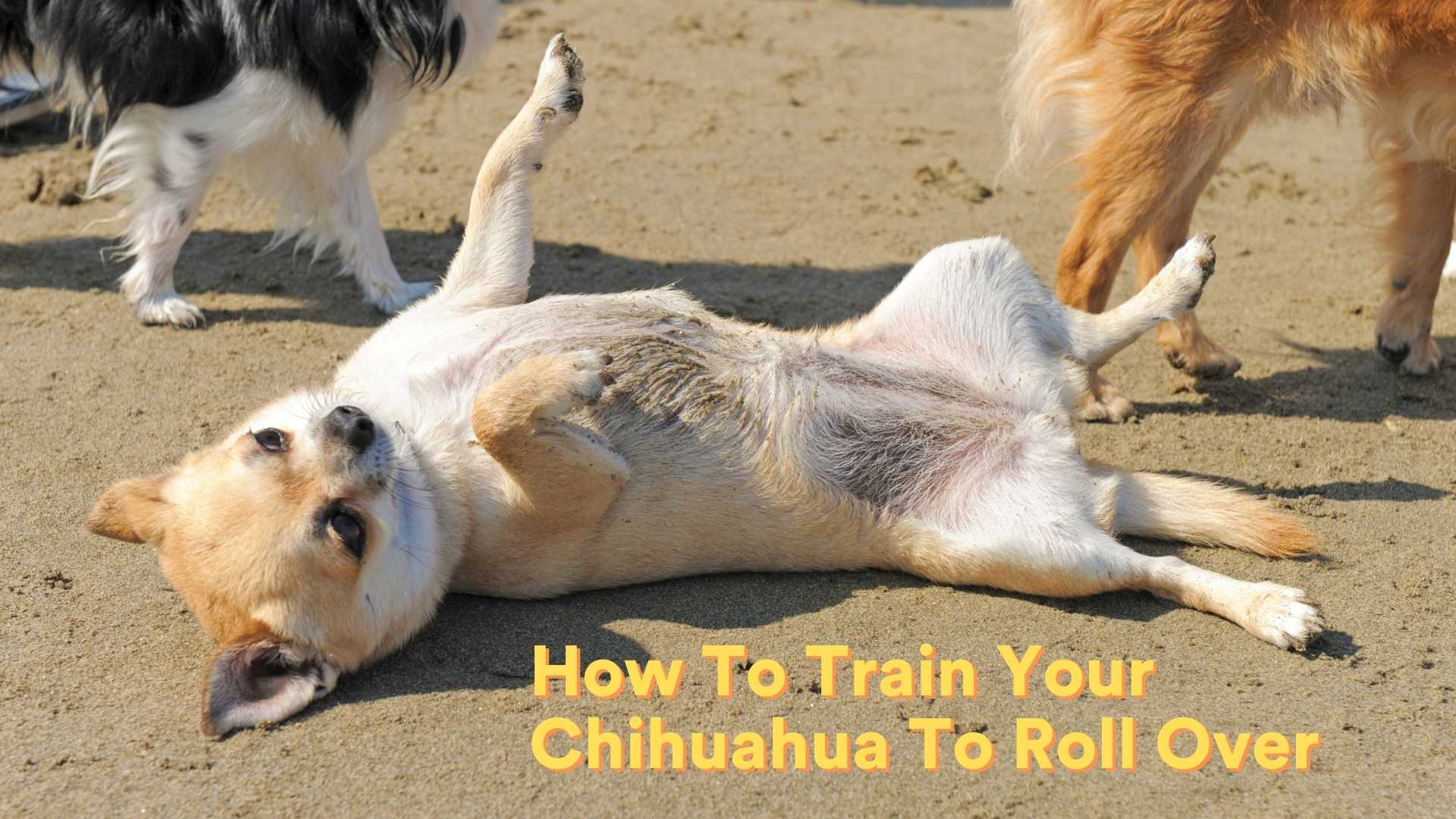 How To Train Your Chihuahua To Roll Over