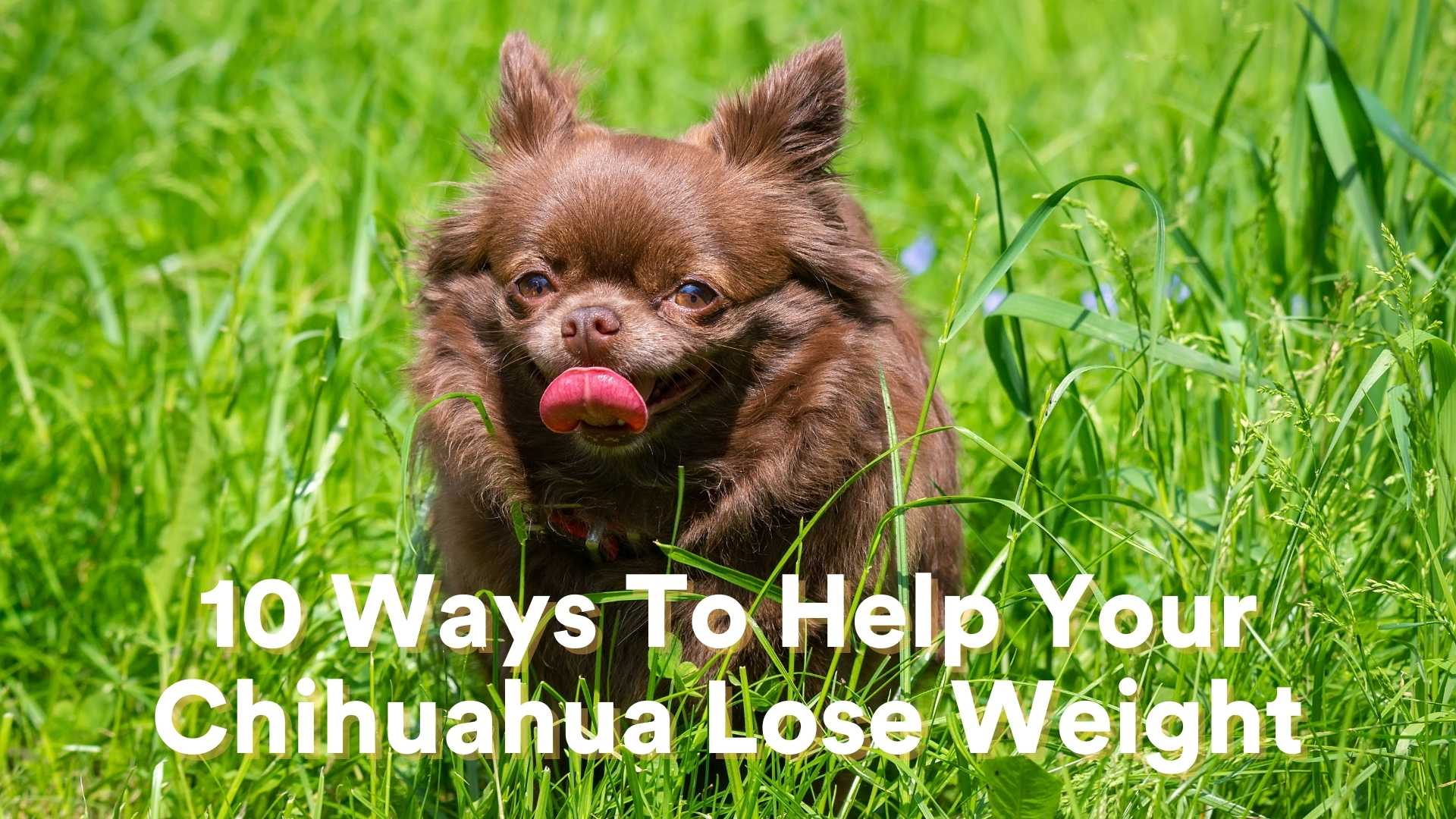 10 Ways to Help Your Chihuahua Lose Weight