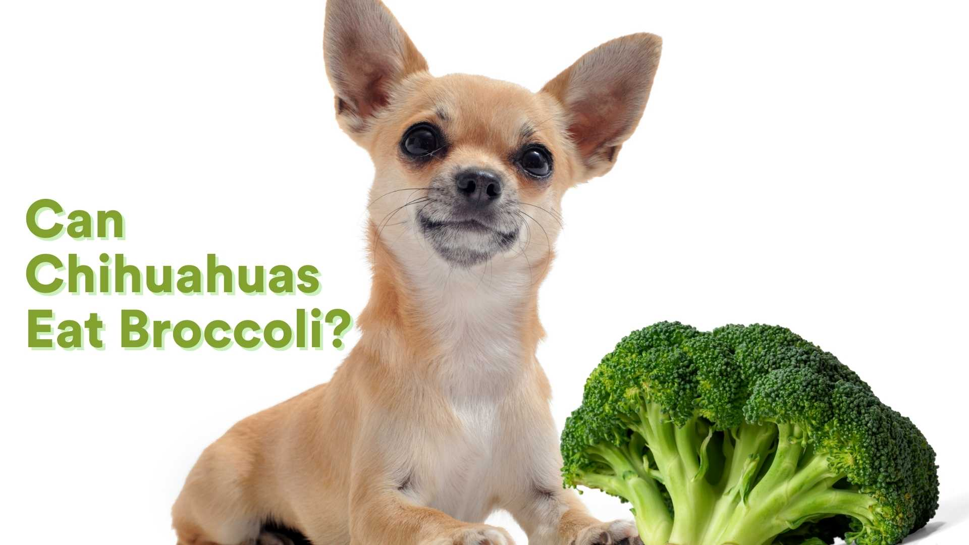 The Broccoli is considered to be one of the most iconic images of a vegetable. Many people dislike this vegetable for being too bland, while many appreciates it for all the health benefits it could bring to the table. Yet it is often the go-to food for parents looking to feed their children a healthy diet. How about our fur parents looking to feed their chihuahuas a healthy diet? Can Chihuahuas eat broccoli? The answer to that question is, yes, chihuahuas can eat broccoli. However, it is important to remember that dogs are omnivores with a particular knack for meat as they are descendants of wolves. While they are able to eat both meats and vegetables, most of the time, they would prefer meat over vegetables. Regardless, if your Chihuahua happens to have the appetite for vegetables, the broccoli is one of the best option because of all the health benefits it could bring! In this article, we will discuss the nutritional value of broccoli along with the benefits this vegetable could have on your chihuahua's health. Moreover, we will give you some tips on how to serve and incorporate broccoli to your chihuahuas diet, and lastly, we will discuss how much broccoli should a chihuahua eat and the inherent risks that come along with it. Vitamins and Minerals from Broccoli Fiber - Broccoli is good for your dog's digestive system because it has a lot of fiber. The problem with broccoli stems though can make them more difficult to digest than the florets on top so trimming those off before giving it makes sure you're delivering healthy nutrients right into Fido! Vitamin C - Vitamin C is an important nutrient for maintaining the health of your dog. While their bodies produce some vitamin C naturally, it decreases as they age and may become insufficient because this powerful antioxidant isn't stored in fat cells like other nutrients are - meaning more must be taken throughout life to prevent deficiency symptoms! Vitamin K - The vitamin that keeps your dog active and healthy. Bon