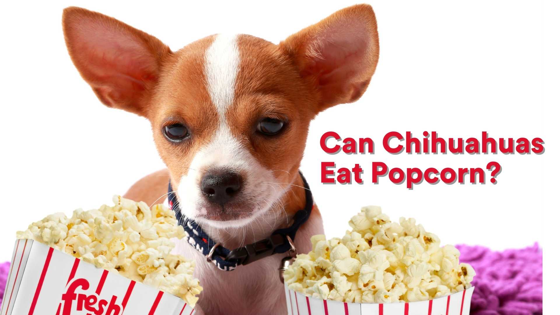 Can Chihuahuas Eat Popcorn?