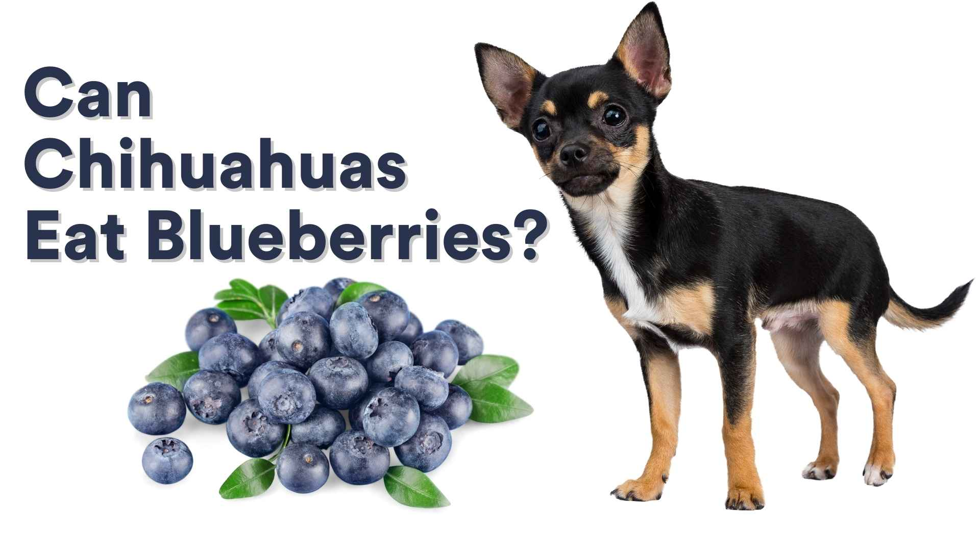 Can Chihuahuas Eat Blueberries?