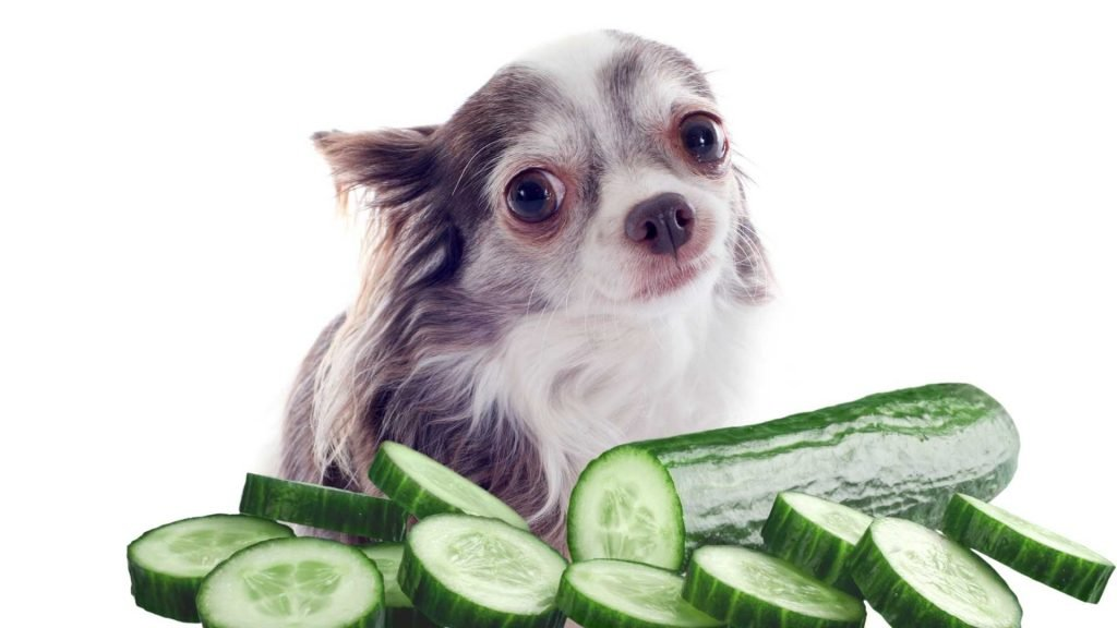 Why cucumbers are generally safe for dogs to eat
