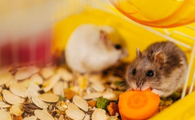 How Can You Tell if Your Hamsters Will Get Along in a Shared Space?